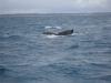Whale Watching Sunshine Coast